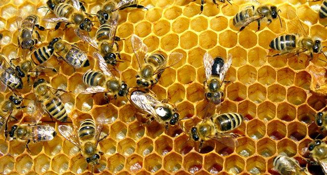 Соты и пчелы