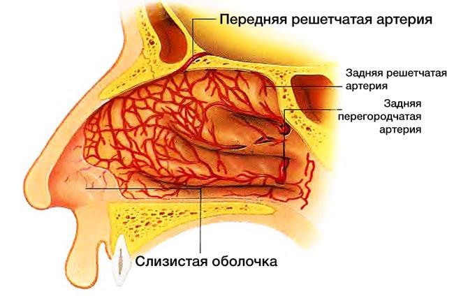 Как выглядит нос внутри