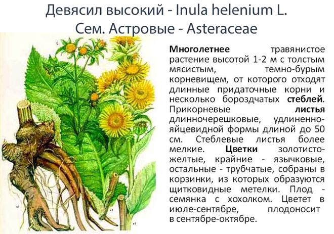 """Растение """"Девясил"""""""