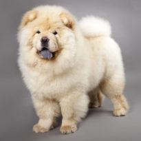 Собачий жир: лечебные свойства и применение при кашле